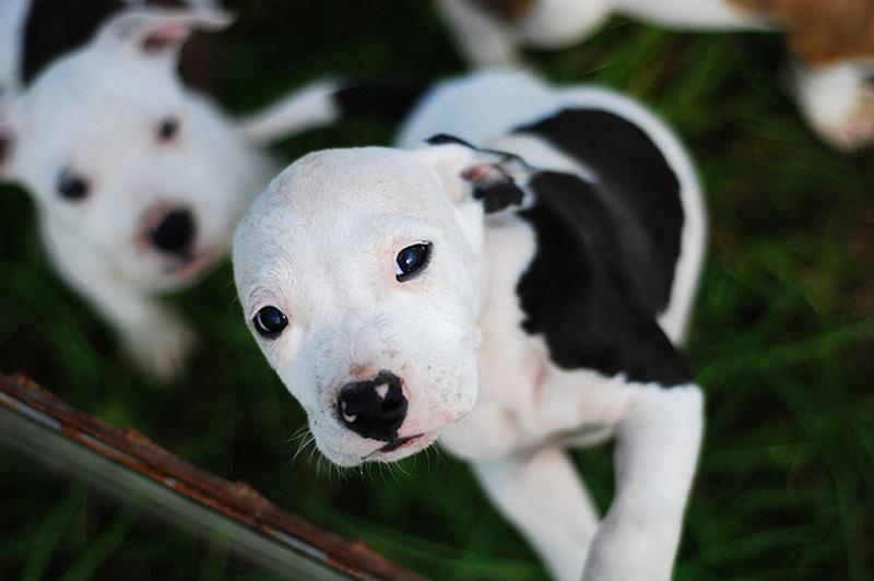 Adorable Pit Bull Puppy 12 Очаровательные щеночки питбуля