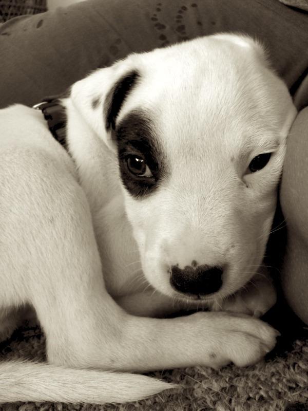 Adorable Pit Bull Puppy 14 Очаровательные щеночки питбуля