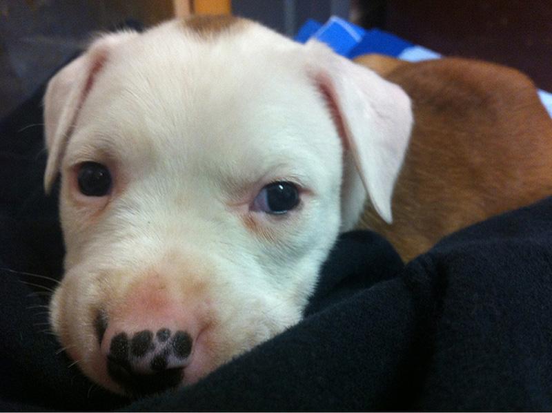 Adorable Pit Bull Puppy 2 Очаровательные щеночки питбуля