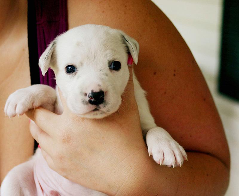 Adorable Pit Bull Puppy 20 Очаровательные щеночки питбуля
