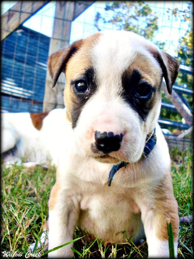 Adorable Pit Bull Puppy 3 Очаровательные щеночки питбуля