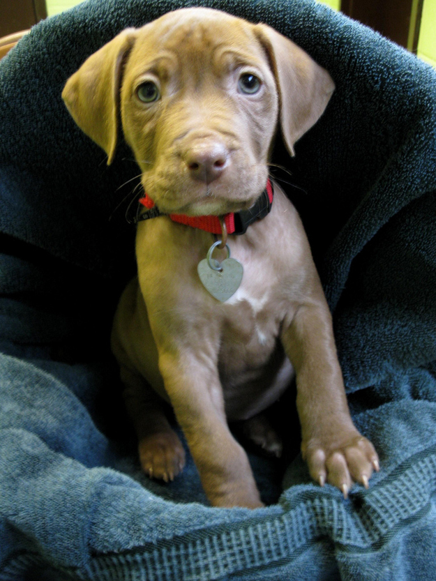 Adorable Pit Bull Puppy 5 Очаровательные щеночки питбуля