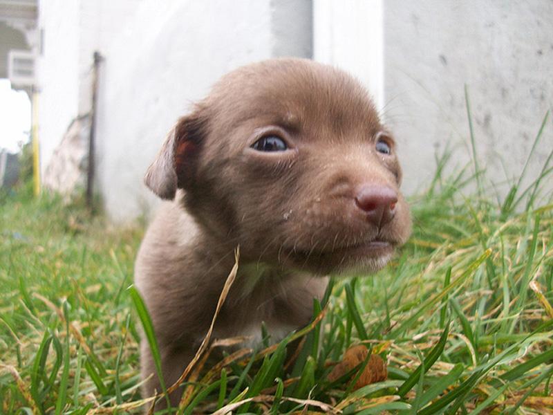 Adorable Pit Bull Puppy 7 Очаровательные щеночки питбуля