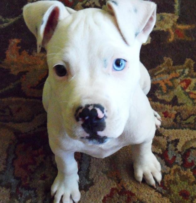 Adorable Pit Bull Puppy 9 Очаровательные щеночки питбуля
