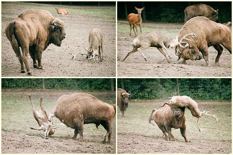 Олень столкнулся лоб в лоб с бизоном и поплатился за это жизнью