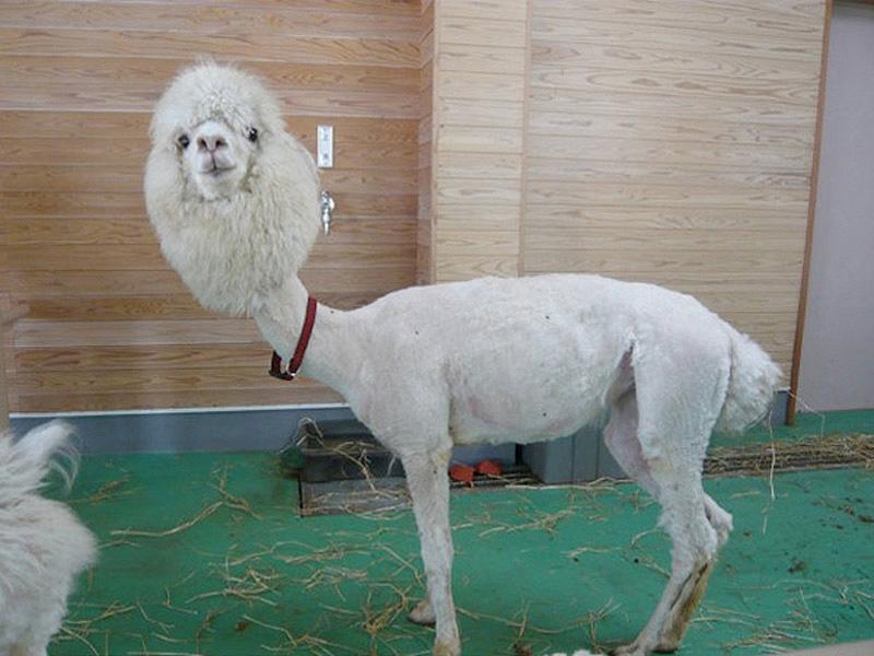 Half Shaved Animals 1 Полубритые животные