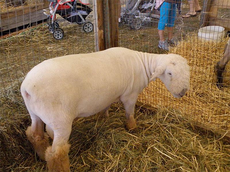 Half Shaved Animals 16 Полубритые животные