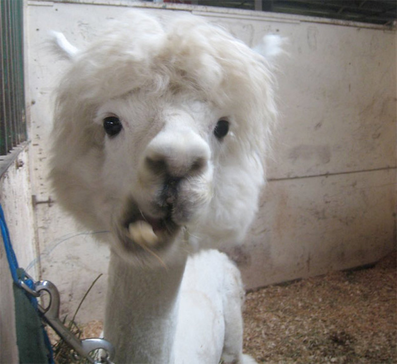 Half shaved animals 20 полубритые животные