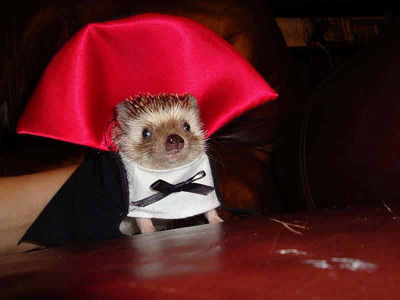 Hedgehog For Halloween 1 Как нарядить ёжика на праздник