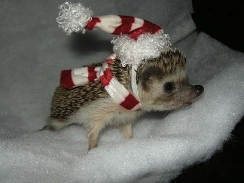 http://bigpicture.ru/wp-content/uploads/2012/10/Hedgehog-For-Halloween-11.jpg