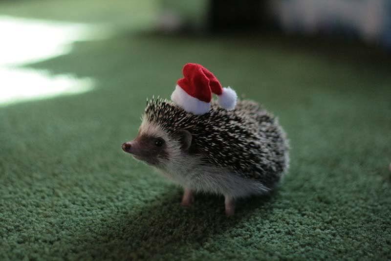 Hedgehog For Halloween 12 Как нарядить ёжика на праздник