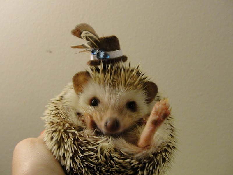 http://bigpicture.ru/wp-content/uploads/2012/10/Hedgehog-For-Halloween-6.jpg