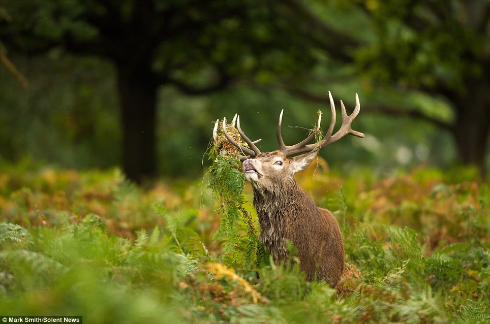 King of Richmond Park 7 Олень король