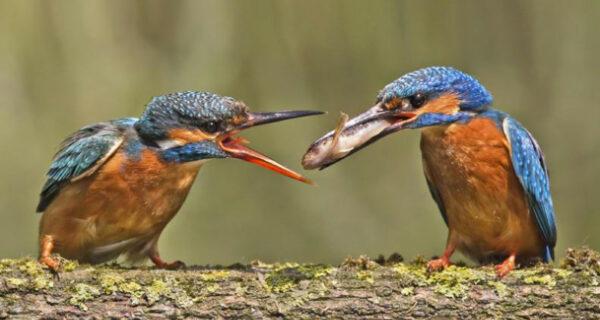 Зимородки в фотографиях Мэлка Брауна