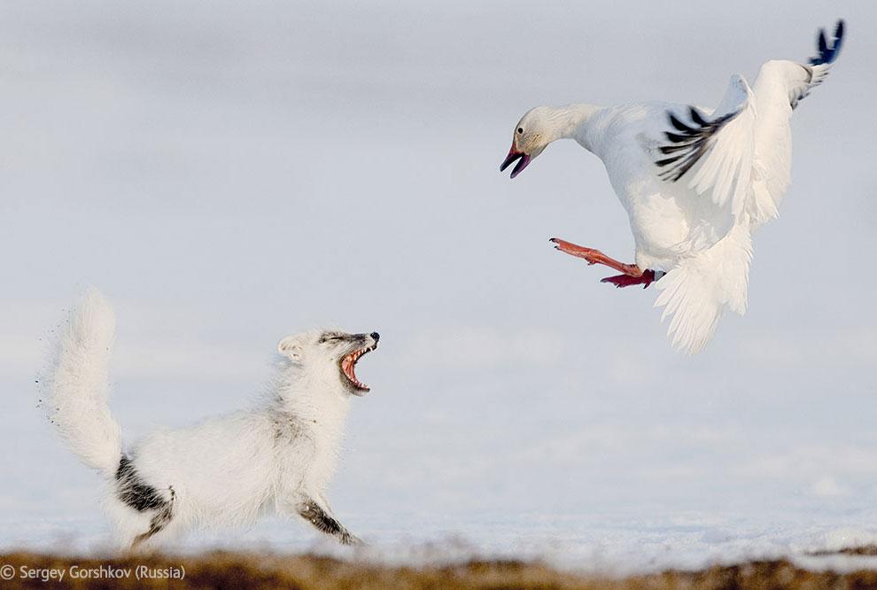 Veolia Environnement Wildlife Photographer 32 Победители Конкурса фотографий дикой природы 2012
