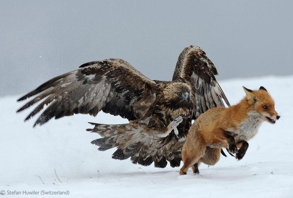 Veolia Environnement Wildlife Photographer 33 Победители Конкурса фотографий дикой природы 2012