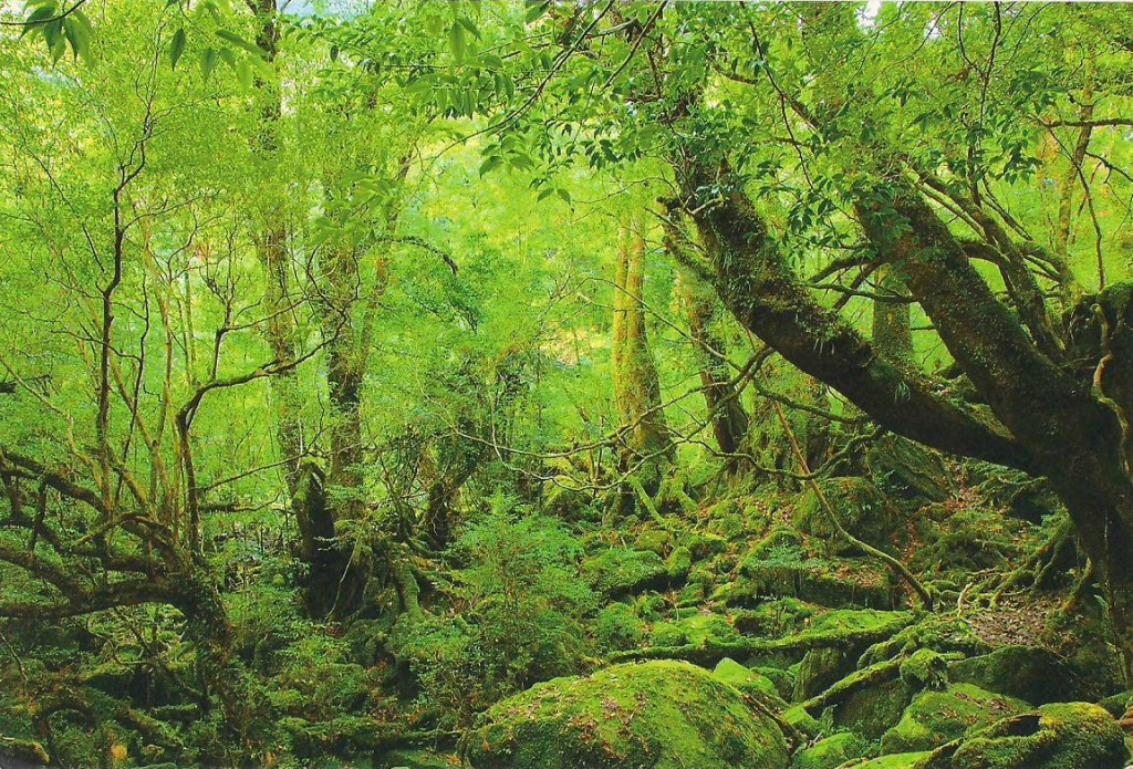 Yakusima 12 Леса на острове Якусима