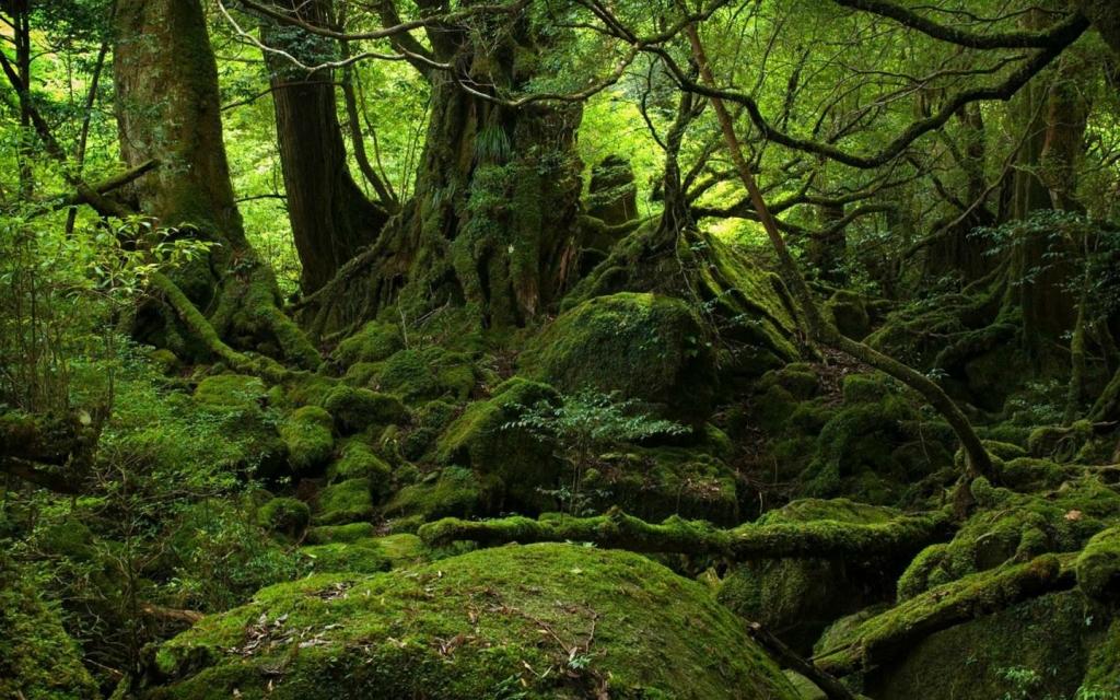 Yakusima 7 Леса на острове Якусима