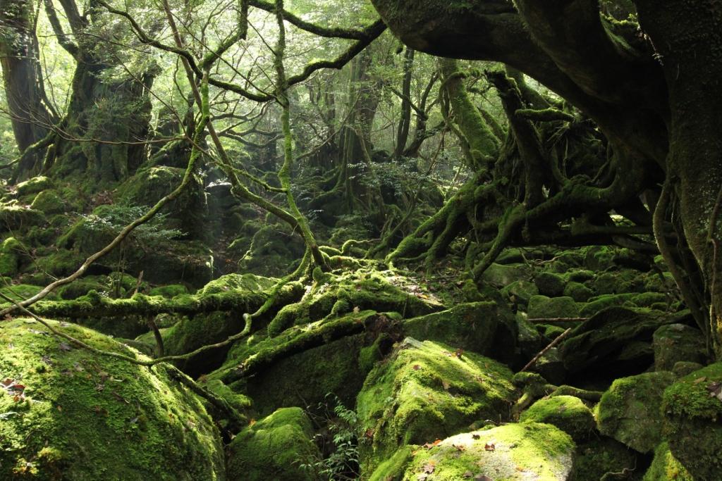 Yakusima 9 Леса на острове Якусима