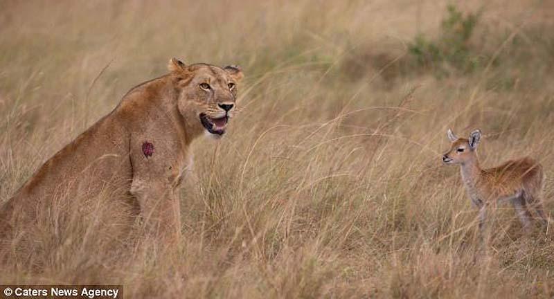 adopting baby impala 1 Львица и малыш антилопы