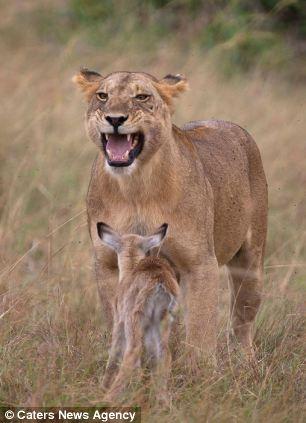 adopting baby impala 10 Львица и малыш антилопы