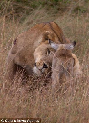 adopting baby impala 11 Львица и малыш антилопы