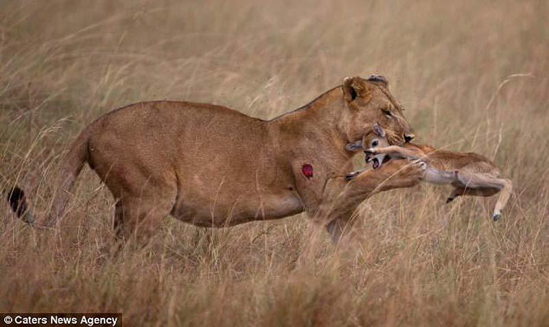 adopting baby impala 12 Львица и малыш антилопы
