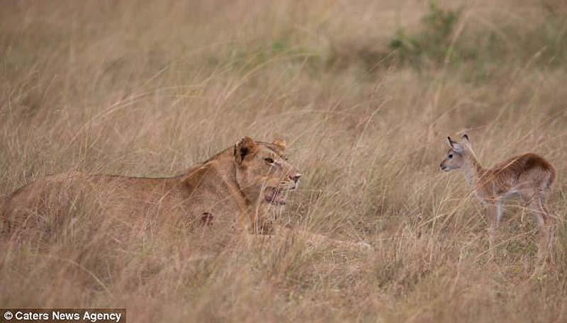 adopting baby impala 2 Львица и малыш антилопы