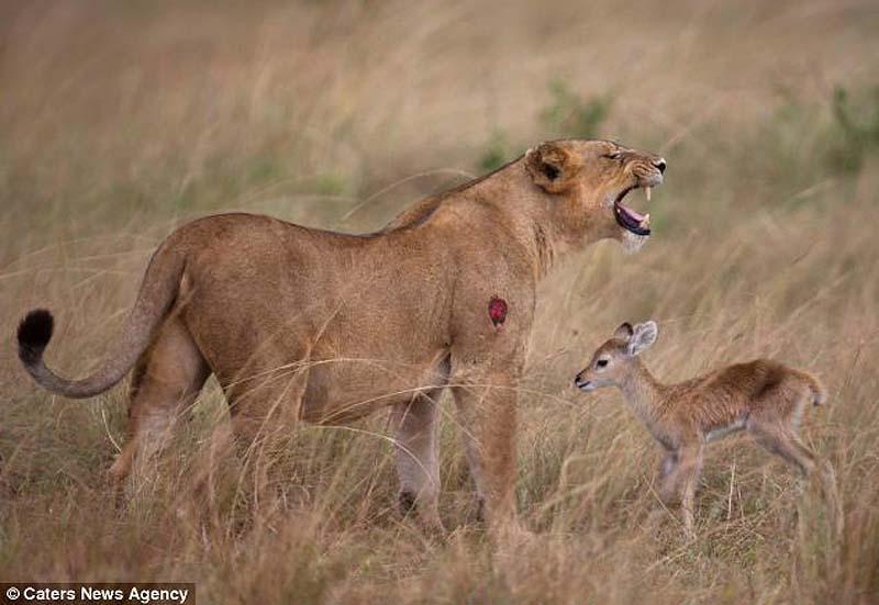 adopting baby impala 3 Львица и малыш антилопы