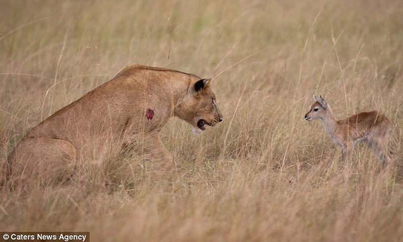 adopting baby impala 4 Львица и малыш антилопы