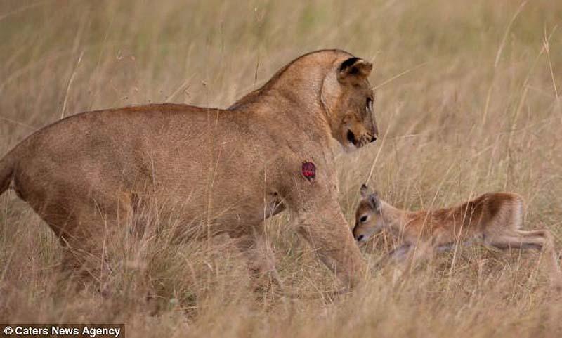 adopting baby impala 5 Львица и малыш антилопы