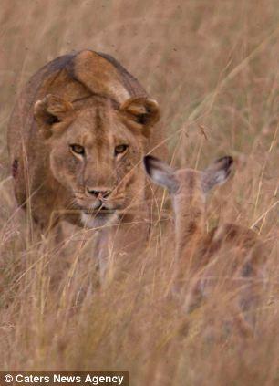 adopting baby impala 6 Львица и малыш антилопы