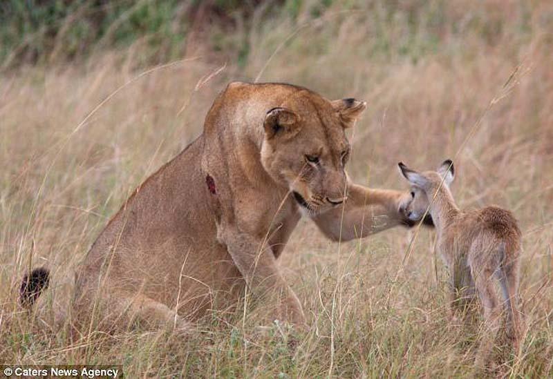 adopting baby impala 8 Львица и малыш антилопы