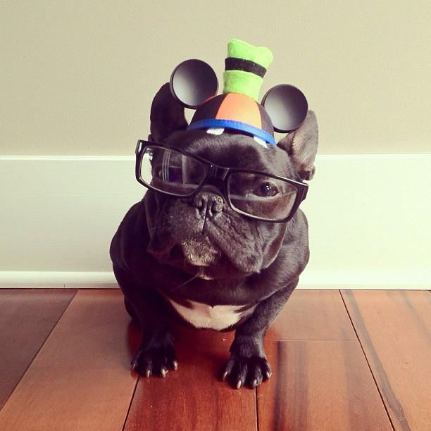 doggy03 Новая звезда твиттера и инстаграмма   французский бульдог Троттер