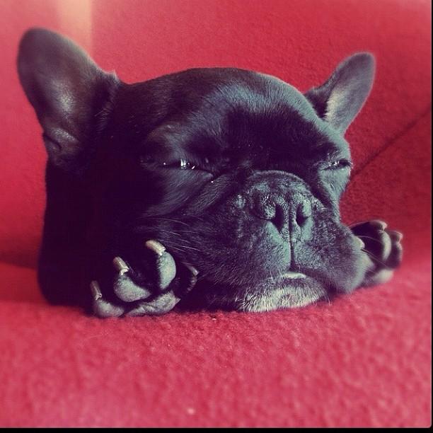 doggy04 Новая звезда твиттера и инстаграмма   французский бульдог Троттер