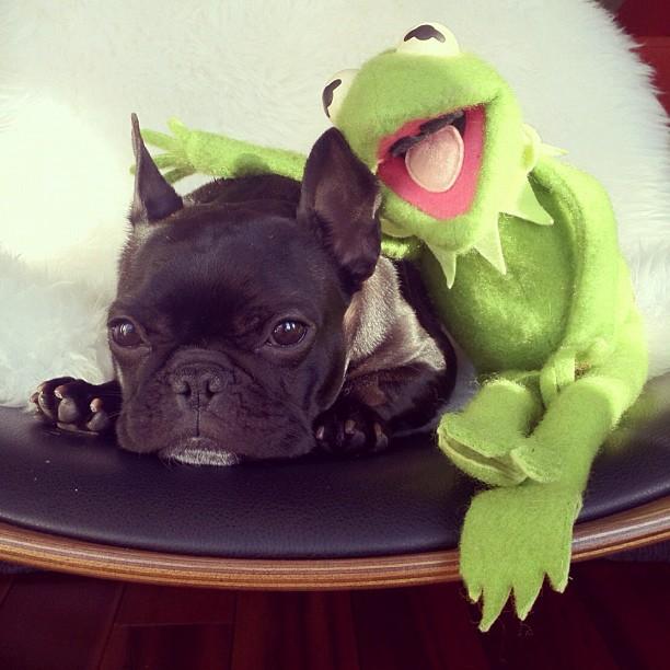 doggy05 Новая звезда твиттера и инстаграмма   французский бульдог Троттер