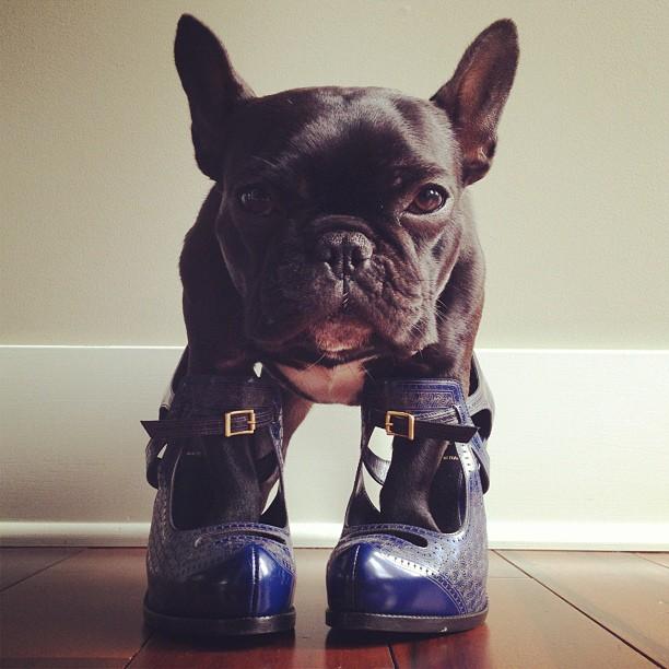 doggy06 Новая звезда твиттера и инстаграмма   французский бульдог Троттер