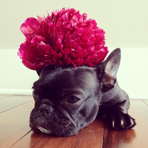 doggy07 Новая звезда твиттера и инстаграмма   французский бульдог Троттер