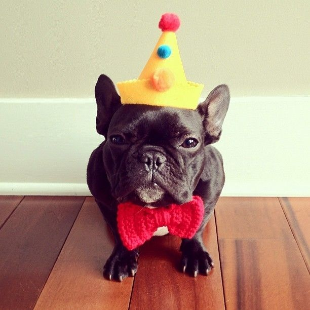 doggy08 Новая звезда твиттера и инстаграмма   французский бульдог Троттер
