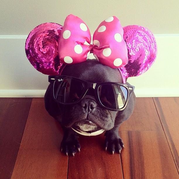 doggy09 Новая звезда твиттера и инстаграмма   французский бульдог Троттер
