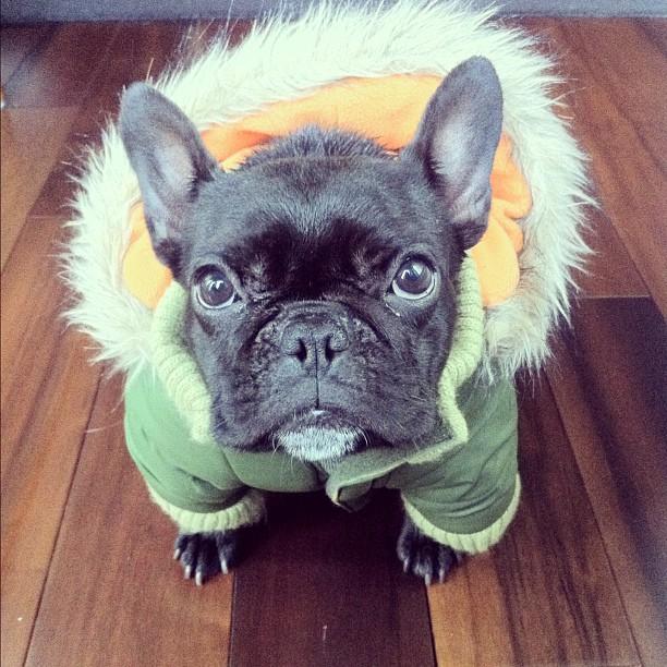 doggy11 Новая звезда твиттера и инстаграмма   французский бульдог Троттер