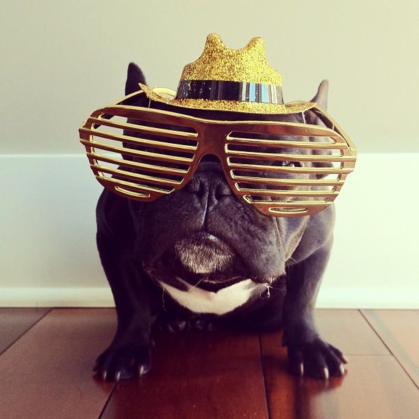 doggy14 Новая звезда твиттера и инстаграмма   французский бульдог Троттер
