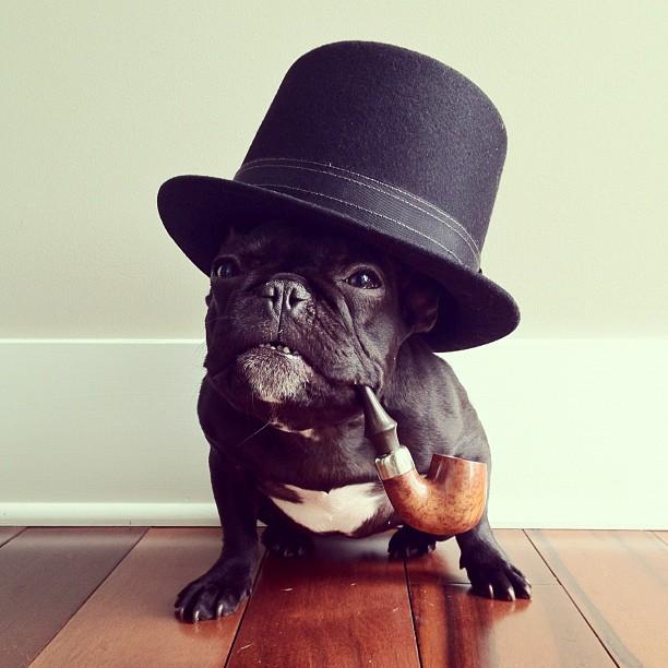 doggy15 Новая звезда твиттера и инстаграмма   французский бульдог Троттер