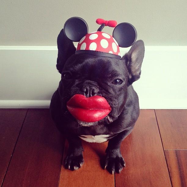 doggy17 Новая звезда твиттера и инстаграмма   французский бульдог Троттер