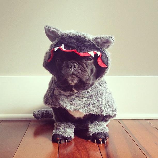 doggy20 Новая звезда твиттера и инстаграмма   французский бульдог Троттер