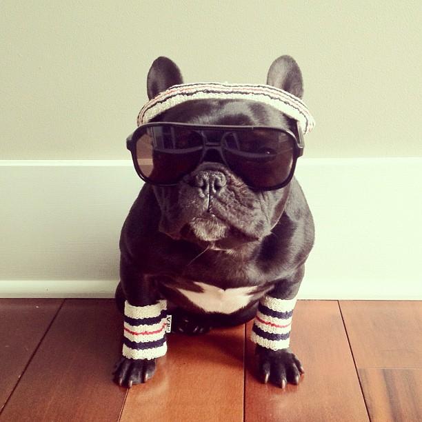 doggy22 Новая звезда твиттера и инстаграмма   французский бульдог Троттер