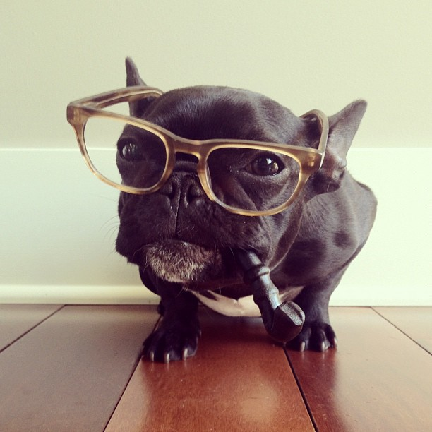 doggy23 Новая звезда твиттера и инстаграмма   французский бульдог Троттер