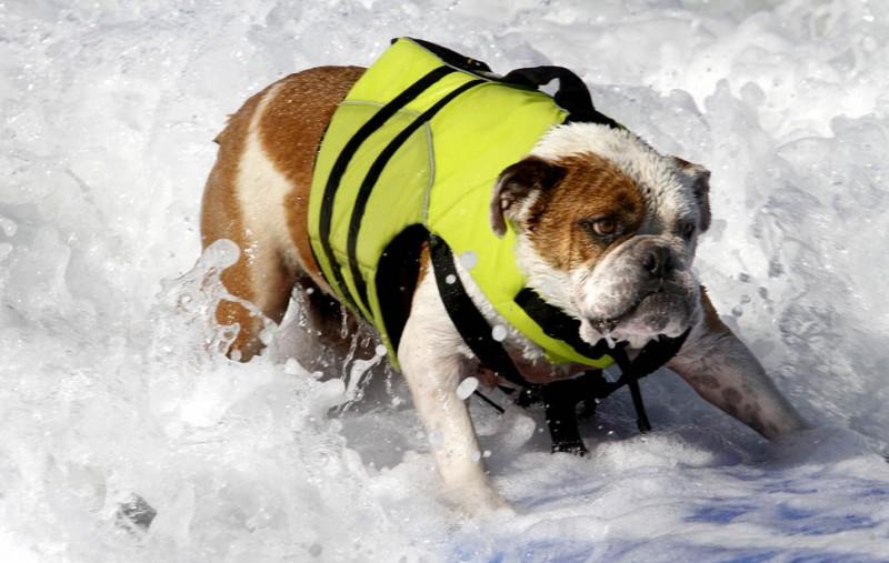 dogssurfing 1 800x507 Соревнование по серфингу среди собак