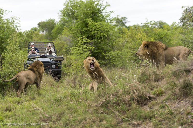 lions 1 800x532 Битва африканских львов