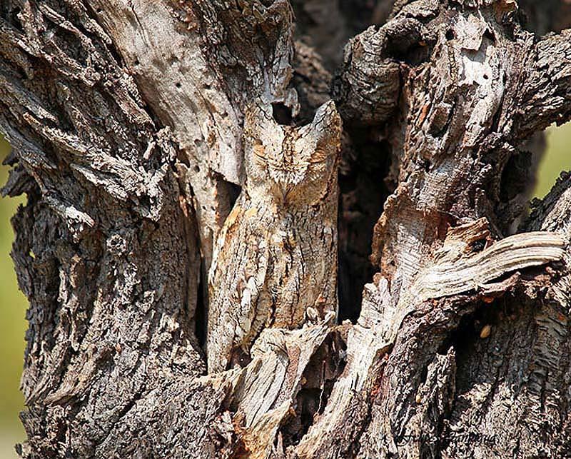 owl 1 Совы   мастера камуфляжа